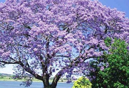 семена адамова дерева